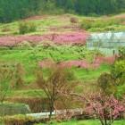Jizai 山梨塩山の桃