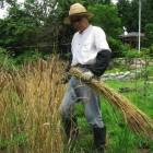 小麦刈り取りするオーナー(Jizai)